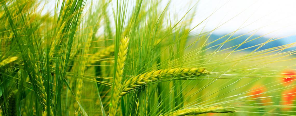 slide-wheat